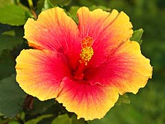 Yellow hibiscus at the Greenview Resort